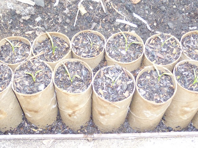 carrotseedlings